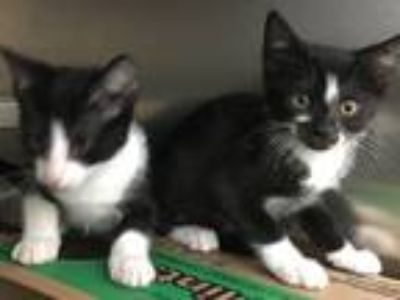 Adopt Kittens!!! a Black & White or Tuxedo Domestic Shorthair (medium coat) cat