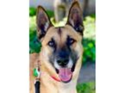 Adopt Kuma a German Shepherd Dog