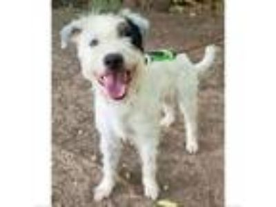Adopt Palomo a German Wirehaired Pointer