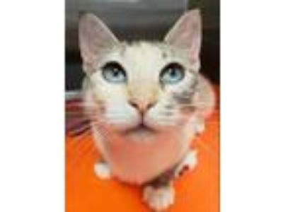 Adopt Berkshire a Domestic Shorthair / Mixed cat in Silverdale, WA (25919147)