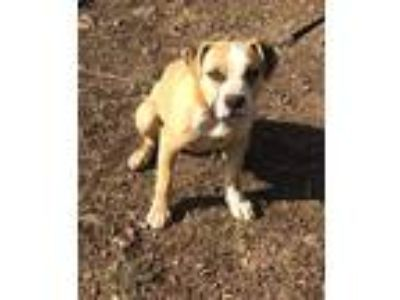 Adopt Ally a Tan/Yellow/Fawn - with White Boxer / American Pit Bull Terrier /