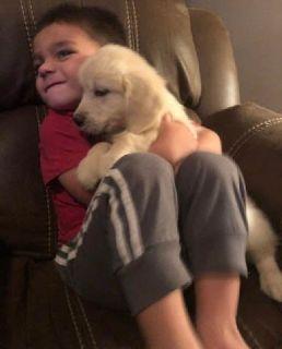 Attentive Golden Retriever Puppies