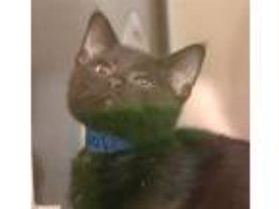 Adopt Wolf a Domestic Shorthair / Mixed cat in Sioux City, IA (25894217)