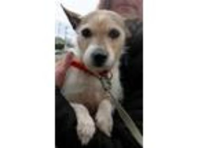 Adopt Lulu a Tricolor (Tan/Brown & Black & White) Jack Russell Terrier / Mixed