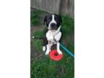 Adopt Onyx a Boxer, Pit Bull Terrier