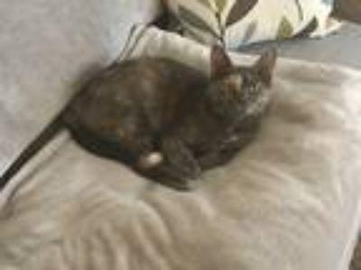 Adopt Valentine a Calico or Dilute Calico Domestic Shorthair cat in Cincinnati