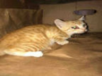 Adopt ANNIE a Orange or Red Domestic Shorthair / Mixed (short coat) cat in