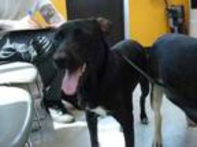 Adopt Stray - US 19 Homo @ off-site Foster - avail 7-19 a Black Retriever