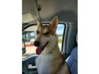 Adopt POCAHONTAS a White Husky / Mixed dog in Pearland, TX (25867879)