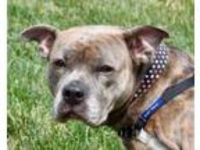 Adopt STORM a Pit Bull Terrier, Mixed Breed