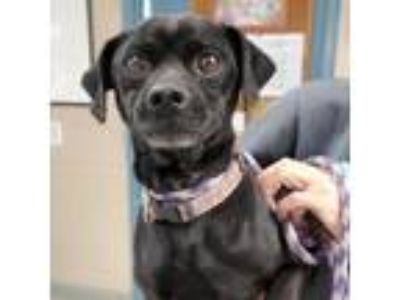 Adopt Skillet a Black Pug / Miniature Pinscher dog in Sarasota, FL (25581302)