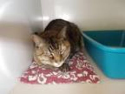 Adopt Bella a Domestic Short Hair, Torbie