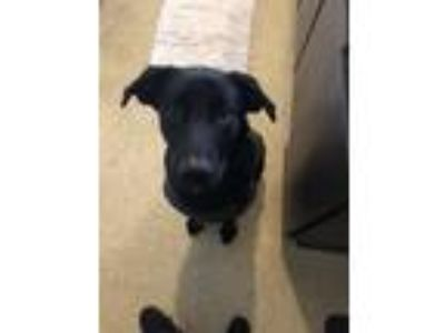 Adopt Breaux a Black German Shepherd Dog / Labrador Retriever / Mixed dog in