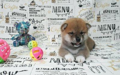 Shiba Inu PUPPY FOR SALE ADN-105453 - High Class RED Shiba Inu LA SF NY Seattle CHI