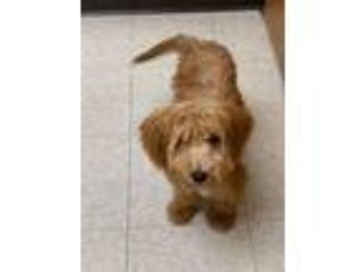 Adopt Atreyu a Poodle, Golden Retriever