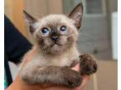 Adopt Ming a Cream or Ivory Siamese / Domestic Shorthair / Mixed cat in Palm