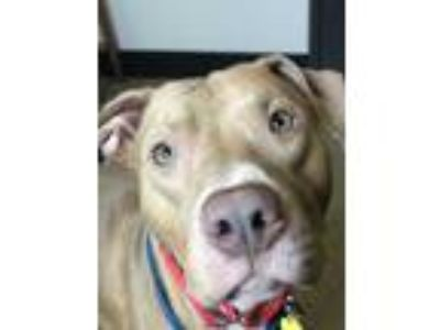 Adopt Spirit IV 1 a Tan/Yellow/Fawn American Pit Bull Terrier / Mixed dog in
