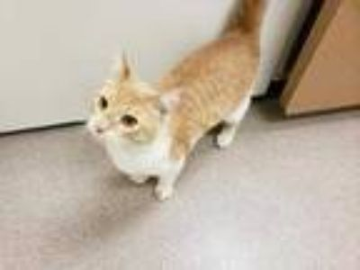 Adopt Ernie a Orange or Red Domestic Shorthair / Mixed cat in Boulder