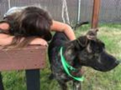 Adopt TONIO a Dutch Shepherd, Australian Cattle Dog / Blue Heeler