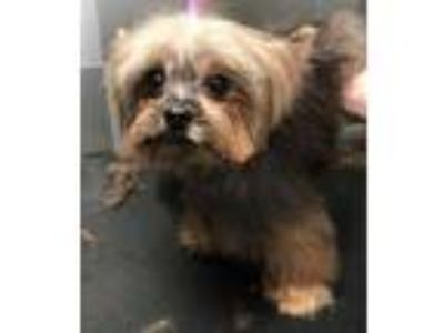 Adopt Macho SDR in TX a Yorkshire Terrier