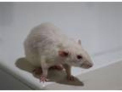 Adopt Bissell a Rat