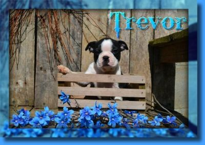 Trevor Male Boston Terrier AKC
