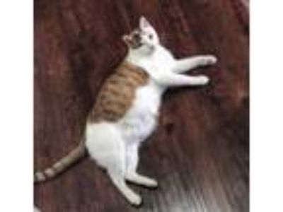 Adopt Alastor a Orange or Red (Mostly) American Shorthair cat in Temple