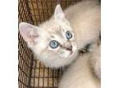 Adopt Louie(Avail 6-16) a White Siamese / Domestic Shorthair / Mixed cat in