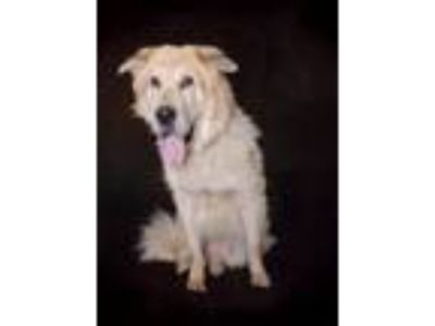 Adopt Django a Tan/Yellow/Fawn - with Black Chow Chow / Husky / Mixed dog in Van