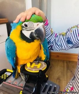 Silly Tame Blue And Gold Macaw