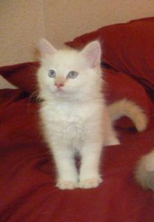 Gorgeous Purebred Fluffy Long Hair White Kittens