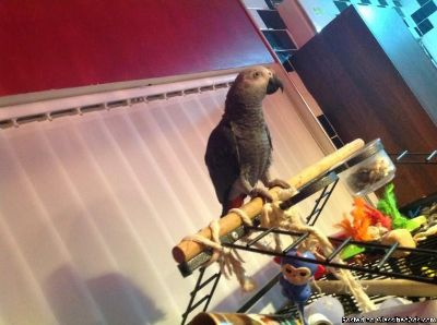 Sweet and lovely African grey parrots for Christmas sale