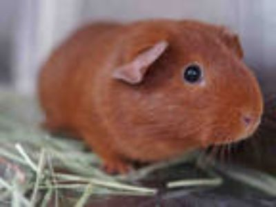 Adopt PUMPKIN a Red Guinea Pig / Mixed small animal in Pasadena, CA (25311622)