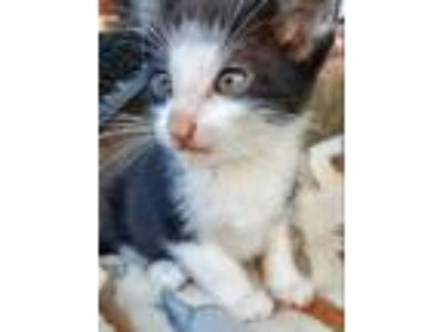 Adopt CANCUN a Black & White or Tuxedo Domestic Shorthair (short coat) cat in