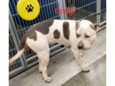Adopt Craig a Pit Bull Terrier, Mixed Breed