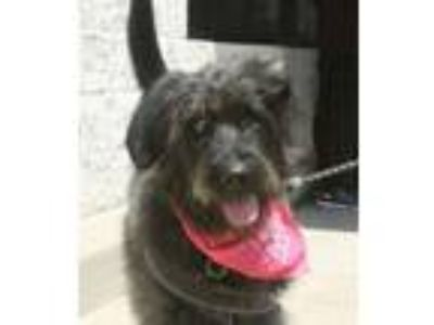 Adopt Cassie a Irish Wolfhound, Pointer