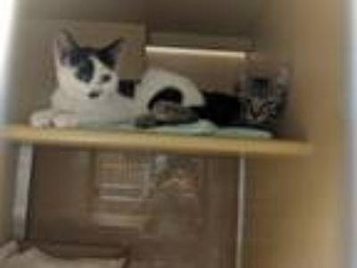 Adopt Pig-Pen a Domestic Short Hair
