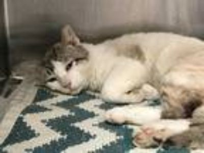Adopt CASSIUS a White (Mostly) Siamese / Mixed (short coat) cat in Austin