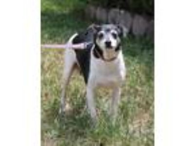 Adopt Minnie a Black - with White Rat Terrier / Mixed dog in Boca Raton