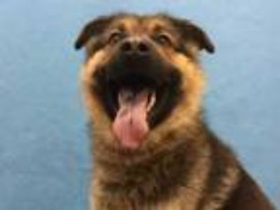 Adopt Ishmael a Black German Shepherd Dog / Mixed dog in Golden Valley
