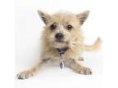 Adopt Mary (Tennessee) a Cairn Terrier, Terrier