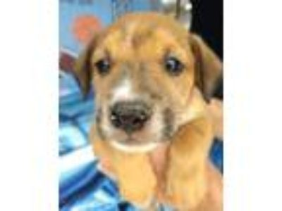Adopt Arian VE a Red/Golden/Orange/Chestnut Retriever (Unknown Type) / Hound