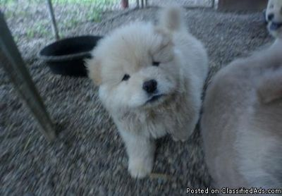 Freddy Best Chow Chow puppies