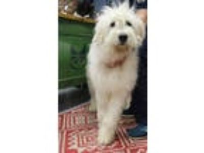 Adopt Willoughby a Great Pyrenees, Poodle