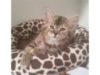 Adopt Floofs a Domestic Longhair / Mixed cat in Oceanside, CA (25933749)