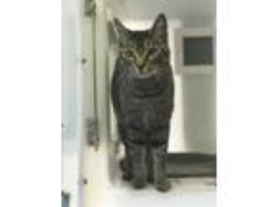 Adopt Turtle 672-19 a Domestic Short Hair