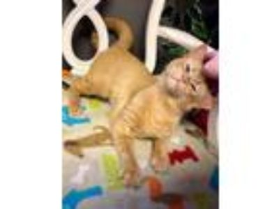 Adopt Pipsqueak a Domestic Short Hair