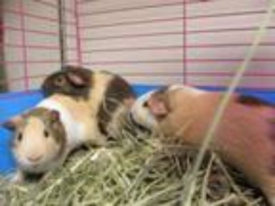 Adopt Ernie a Brown or Chocolate Guinea Pig / Guinea Pig / Mixed small animal in