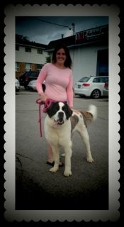 Looking for a male saint bernard for my female