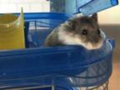 Adopt HARRISON a Silver or Gray Hamster / Mixed small animal in Grand Prairie